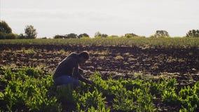 Человек собирает щавель на поле сидел на корточках вниз акции видеоматериалы