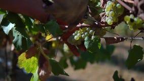 Человек собирая виноградины на винограднике, сбор на винограднике акции видеоматериалы