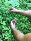 Человек собирая huckleberries Стоковая Фотография RF