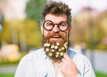 Человек с длинными бородой и усиком, defocused предпосылкой природы Гай смотрит славно с цветками маргаритки или стоцвета в бород стоковая фотография rf