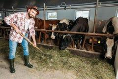 Человек с коровами вилы подавая Стоковые Фотографии RF