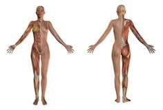 человек тела женский Стоковое Изображение RF