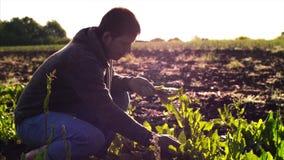 Человек фермера срывает щавель от кроватей и собирает листья в пуке видеоматериал
