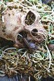 Человек черепа смерти с большим ползанием улитки на spro фасоли стороны и ситовины Стоковая Фотография RF