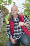 Человек Enior клоня виноградные вина с виноградинами зеленого цвета пука Стоковые Изображения RF