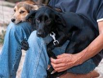 человек sittting с 2 прелестными собаками snuggling до коленей стоковое изображение