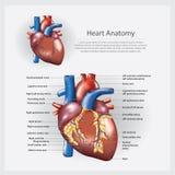 Человеческая иллюстрация вектора анатомии сердца Стоковые Изображения RF
