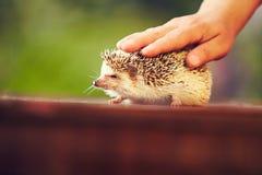 Человеческая рука petting еж на таблице Стоковые Фотографии RF