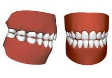 Человеческая челюсть с зубами Стоковые Фото