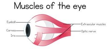 Человеческие мышцы глаза бесплатная иллюстрация