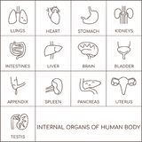 Человеческие органы мужские и женские иллюстрация вектора