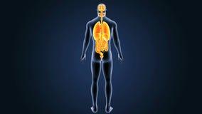 Человеческие органы с телом иллюстрация вектора