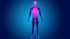 Человеческие органы с телом иллюстрация штока