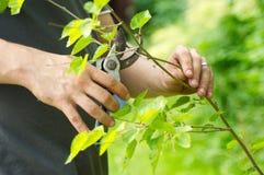 Человеческие руки режут ветви Стоковое Фото