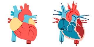 Человеческие сердце и поток крови иллюстрация вектора