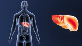 Человеческий сигнал печени с органами иллюстрация штока