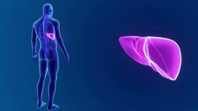 Человеческий сигнал печени с органами иллюстрация вектора
