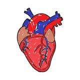 Человеческий чертеж сердца иллюстрация штока