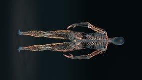 Человеческое тело - женская лимфатическая система - тело петля иллюстрация штока