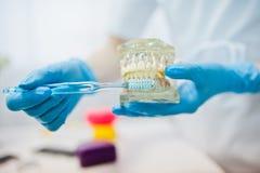 Челюсть зуба на руках дантиста с зубной щеткой Стоковые Фотографии RF