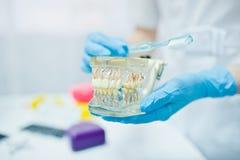 Челюсть зуба на руках дантиста с зубной щеткой Стоковое Изображение
