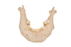 челюсть понижает стоковая фотография rf