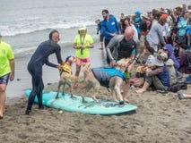 Чемпионаты собаки мира занимаясь серфингом Стоковая Фотография