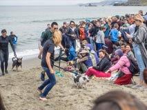 Чемпионаты собаки мира занимаясь серфингом Стоковое фото RF