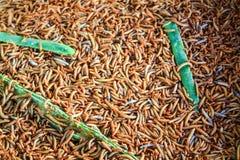 Черви, черви еды Стоковое Изображение