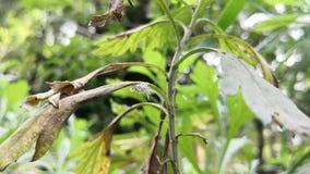 Червь белого butternut шерстистый Личинка sandfly juglandis Eriocampa видеоматериал