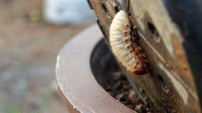 Червь Dynastinae стоковое фото rf