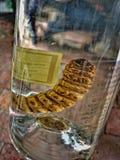 Червь Mezcal в сельском Геррере Традиционный алкоголь Перемещение в Мексике стоковая фотография