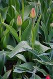 Через весну, после тюльпана бутона цветка дождя красивого красного на предпосылке зеленых листьев в flowerbed в русской сельской  Стоковое Фото