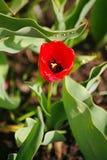 Через весну, после тюльпана бутона цветка дождя красивого красного на предпосылке зеленых листьев в flowerbed в русской сельской  Стоковое Изображение