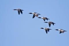 через голубое общее небо mergansers летания Стоковые Фото