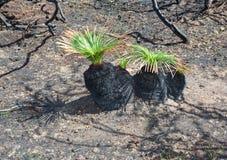 Через новую жизнь после мальчиков черноты лесного пожара Стоковые Фото