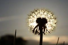 Через Солнце после dendelion Стоковые Фото