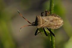 черенок жука коричневое зеленое сидя стоковые изображения