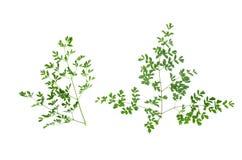 Черенок зеленого растения Стоковое Изображение RF