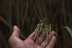 Черенок неочищенных рисов Стоковые Фото
