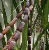 Черенок сахарного тростника растут на около стене Стоковая Фотография RF