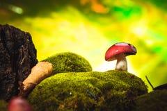 Черенок свежей сыроежки гриба белое растет на мхе Стоковое Изображение