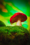 Черенок свежей сыроежки гриба белое растет на мхе Стоковое Фото
