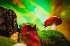 Черенок свежей сыроежки гриба белое растет на мхе Стоковые Изображения RF
