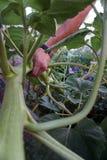 Черенок солнцецвета Стоковая Фотография