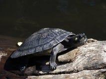 черепаха Амазонкы Стоковое Изображение RF