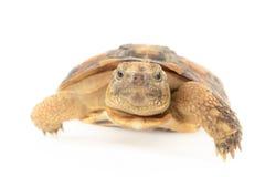 Черепаха блинчика Стоковая Фотография RF