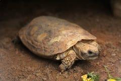 Черепаха блинчика (tornieri Malacochersus) Стоковые Фото