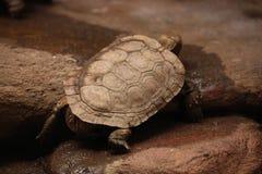 Черепаха блинчика (tornieri Malacochersus) Стоковые Изображения