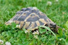 Черепаха вползая на траве Стоковые Фото